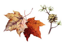 Pine Cone and Maple Leaves Set Watercolor Illustration Hand Drawn Stock Photo