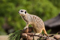 Pine Cone Meerkat Royalty Free Stock Photography