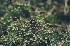 Pine cone in the moss. Pine cone lying in the green moss in the forest, natural vintage background stock photography
