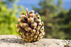 Pine cone on nature Stock Photography