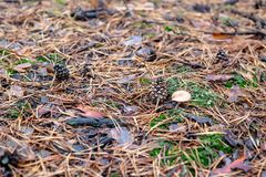 Pine cone near the mushroom in the forest. Pine cone near the mushroom in the forest Royalty Free Stock Image