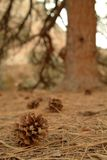 Pine cone near a tree. In the forest Stock Photography