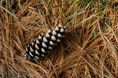 Pine Cone and Needles #1 Royalty Free Stock Photo