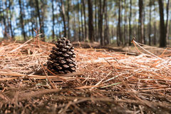 Pine Cone on the needles ground in Coniferous forest. Close-up Pine Cone on the needles ground in Coniferous forest Royalty Free Stock Photography