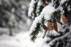 Pine Cone On Tree Stock Photography
