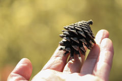 A pine cone Royalty Free Stock Image