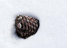 Pine cone partially buried in the snow Stock Images