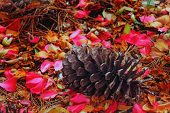 Pine Cone in Petals. Photo of pine cone with camellia petals and pine straw stock photo