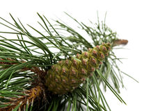 pine cone pine branch Stock Images