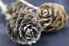 Pine cone. In black and brown Stock Photography