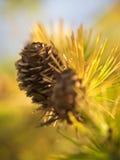 Pine cone with Pine needles Stock Photos