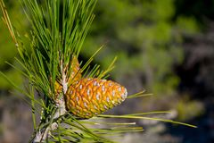 Pine cone on a pine tree in the forest. Dry gray open pine cone on a pine tree of firtree in the wild nature in the forest Stock Photography