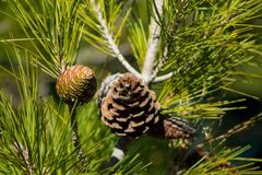 Pine cone on a pine tree in the forest royalty free stock image