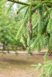 Pine branch on pine tree. Pine tree in pine forest. Wild nature. Greenery. Park. Outdoor photo. Pine Cone in a Pine Tree. Pine branches in nature royalty free stock photos