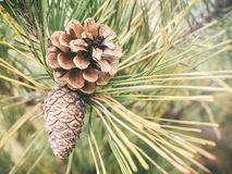 Pine cone Plant Christmas decoration Natural style Stock Photography