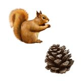 Pine cone. Red Squirrel, Sciurus Vulgaris, eating. Pine cone, Red Squirrel, Sciurus Vulgaris, eating, side view, isolated on white background Royalty Free Stock Photos