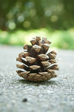 Pine cone on the road Stock Image