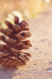 Pine Cone. Selective focus on a pine cone back lit with sunset light Royalty Free Stock Images