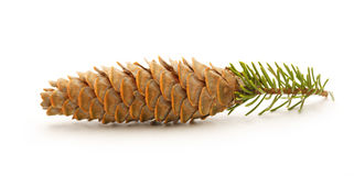 Pine cone with small fir branch Stock Photo