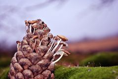 Pine cone with small white mushrooms growing through it, on green moss surface, close up detail, soft blurry landscape royalty free stock images