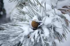Pine Cone with snow Stock Images