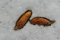 Pine cone in the snow Royalty Free Stock Image