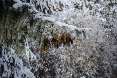 Pine Cone and Snow Royalty Free Stock Images