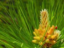 Pine cone Royalty Free Stock Photos