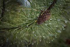 Pine cone in the spring. Pine cone in Banff National Park Royalty Free Stock Image