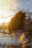 Pine cone with spring Royalty Free Stock Photos