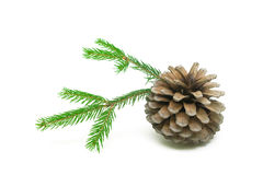 Pine cone and spruce branches on a white background close-up Royalty Free Stock Photo