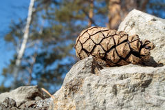 Pine cone. On stone and blue sky Stock Photography
