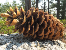 Pine cone on the stone. In the forest Royalty Free Stock Photo