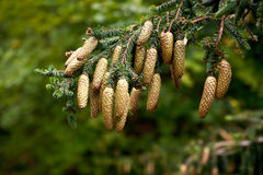 Pine cone strobile on the branch Stock Photography
