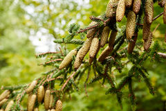 Pine cone strobile on the branch Stock Images