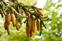 Pine cone strobile on the branch Royalty Free Stock Images