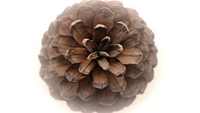 Pine cone top view. Looking down on a large isolated open scots pine cone with white background Stock Photo