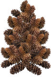 Pine cone Tree Royalty Free Stock Photography