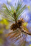 Pine cone tree Royalty Free Stock Image