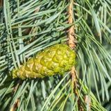 Pine cone. On a tree Stock Photos