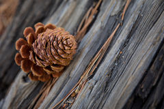 Pine Cone. On the Tree Royalty Free Stock Photos