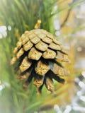 Pine cone on tree Royalty Free Stock Photos