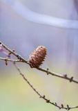Pine cone on a tree Stock Image