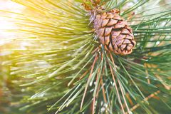 Pine cone on the tree branch. With soft sunlight Royalty Free Stock Photography