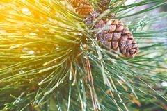 Pine cone on the tree branch. With soft sunlight Royalty Free Stock Image