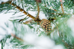 Pine cone on the tree covered with fresh snow Royalty Free Stock Photography