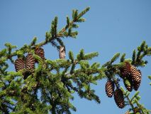 Pine cone on a tree french alps royalty free stock photography