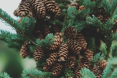 A pine cone tree vector illustration