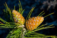 Pine cone on a pine tree in the green forest royalty free stock photos