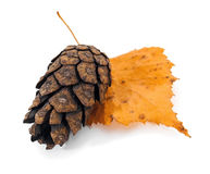 Pine cone on tree leaf Royalty Free Stock Images